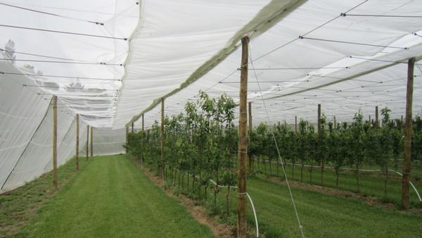 protection pluie pour les cerises les raisins evite l. Black Bedroom Furniture Sets. Home Design Ideas