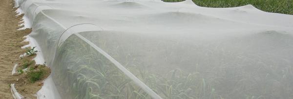bioclimat sur semences d'ail